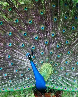 Indian Peafowl - Obrázkek zdarma pro Nokia C-Series