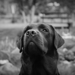 Labrador Retriever - Obrázkek zdarma pro iPad mini 2