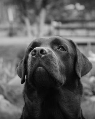 Labrador Retriever - Obrázkek zdarma pro Nokia Asha 503