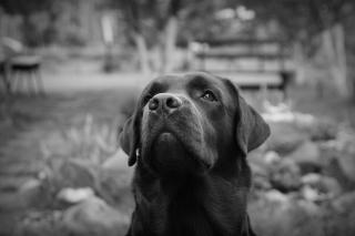 Labrador Retriever - Obrázkek zdarma pro 320x240