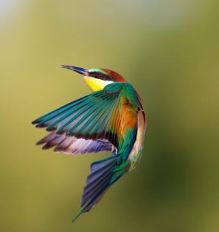 Golden Bee-Eater - Obrázkek zdarma pro iPad mini