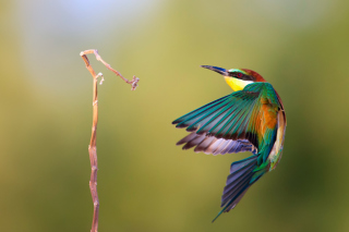 Golden Bee-Eater Picture for Android, iPhone and iPad