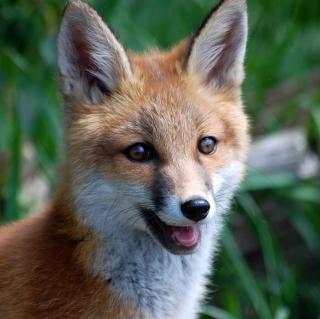 Smiling Muzzle Of Fox - Obrázkek zdarma pro iPad