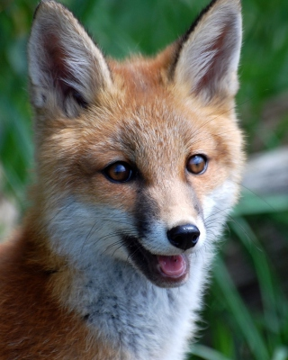 Smiling Muzzle Of Fox - Obrázkek zdarma pro Nokia Asha 308