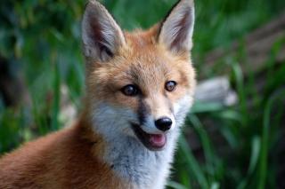 Smiling Muzzle Of Fox - Obrázkek zdarma pro 720x320