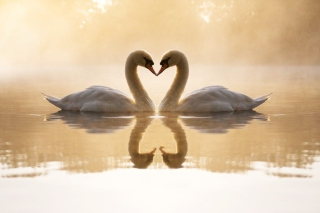 Loving Swans Picture for Android, iPhone and iPad