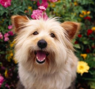Cairn Terrier Dog - Obrázkek zdarma pro 208x208