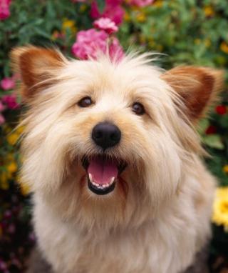 Cairn Terrier Dog - Obrázkek zdarma pro 360x480
