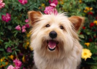 Cairn Terrier Dog - Obrázkek zdarma pro Fullscreen 1152x864