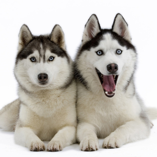 Siberian Huskies - Obrázkek zdarma pro iPad mini