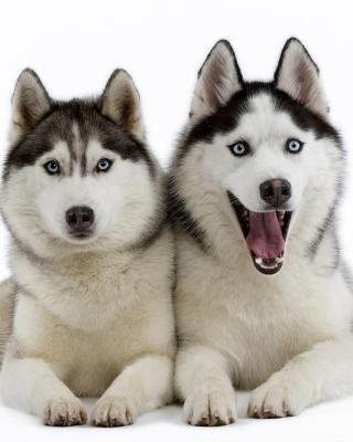 Siberian Huskies - Obrázkek zdarma pro 640x1136