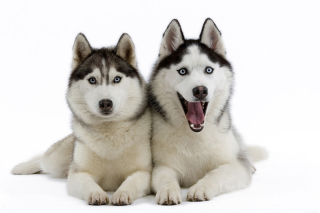 Siberian Huskies sfondi gratuiti per cellulari Android, iPhone, iPad e desktop