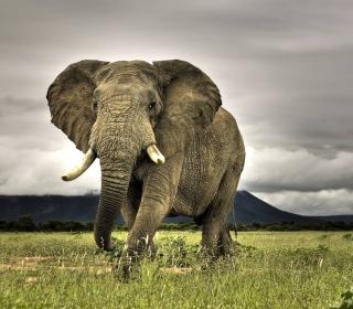 Great Elephant - Obrázkek zdarma pro 2048x2048
