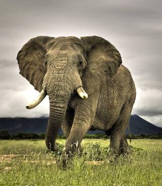 Great Elephant - Obrázkek zdarma pro iPhone 4S