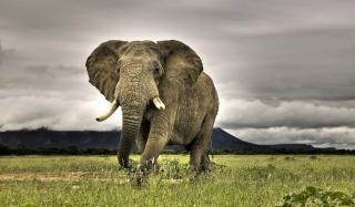 Great Elephant - Obrázkek zdarma pro Samsung Galaxy Note 4