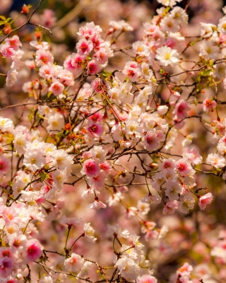 Spring flowering macro - Obrázkek zdarma pro Nokia Asha 300
