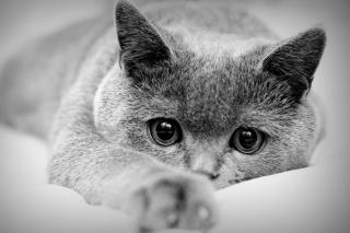 British Shorthair Cat - Fondos de pantalla gratis para Samsung S5367 Galaxy Y TV