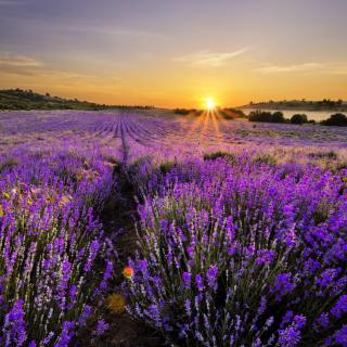 Sunrise on lavender field in Bulgaria - Obrázkek zdarma pro 208x208