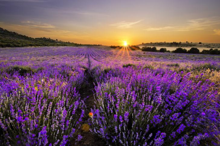Sunrise on lavender field in Bulgaria wallpaper