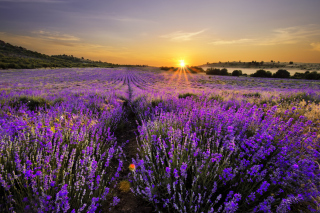 Sunrise on lavender field in Bulgaria - Fondos de pantalla gratis