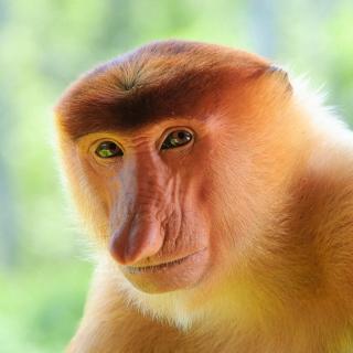 Long-Nosed Monkey - Obrázkek zdarma pro iPad mini 2