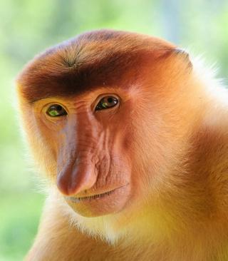 Long-Nosed Monkey - Obrázkek zdarma pro Nokia Asha 503