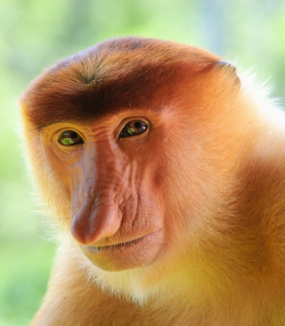 Long-Nosed Monkey - Obrázkek zdarma pro 240x400