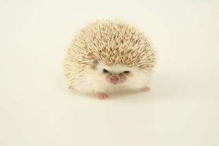 Evil hedgehog - Obrázkek zdarma pro 176x144