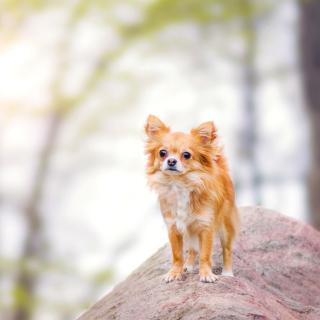 Pomeranian Puppy Spitz Dog - Obrázkek zdarma pro iPad mini