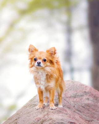 Pomeranian Puppy Spitz Dog - Obrázkek zdarma pro Nokia X6
