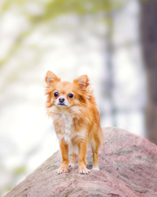 Pomeranian Puppy Spitz Dog - Obrázkek zdarma pro iPhone 4S