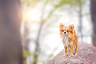 Pomeranian Puppy Spitz Dog Picture for Android, iPhone and iPad