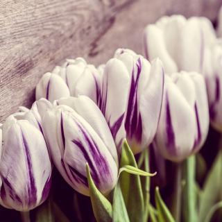 Purple Tulips - Obrázkek zdarma pro iPad