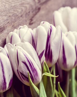 Purple Tulips - Obrázkek zdarma pro Nokia Asha 305