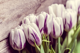 Free Purple Tulips Picture for Android, iPhone and iPad