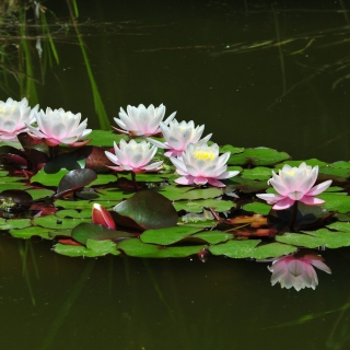 Pink Water Lilies - Obrázkek zdarma pro 320x320