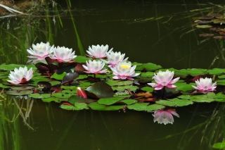 Pink Water Lilies - Obrázkek zdarma pro Android 540x960
