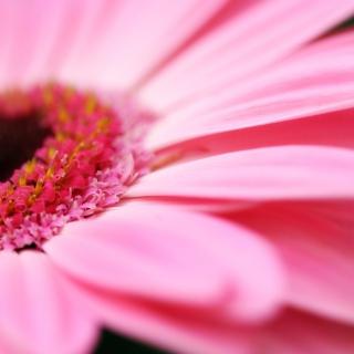 Pink Gerbera Close Up - Obrázkek zdarma pro 128x128