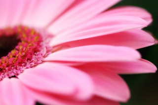 Free Pink Gerbera Close Up Picture for Android, iPhone and iPad