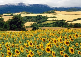 Sunflower Field Background for Android, iPhone and iPad