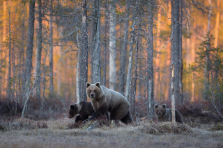 Wild Bears In Forest Picture for Android, iPhone and iPad