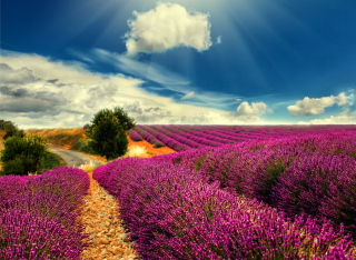 Lavender Picture for Android, iPhone and iPad