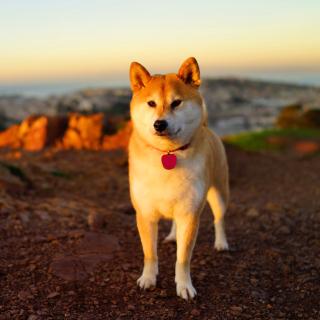 Dogs Akita Inu - Obrázkek zdarma pro 320x320