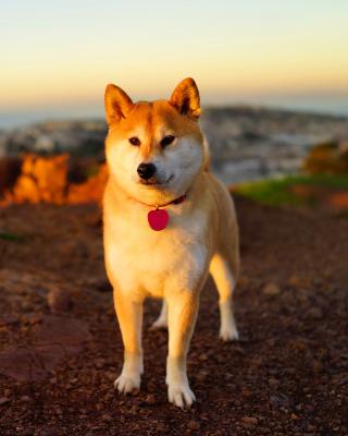 Dogs Akita Inu - Obrázkek zdarma pro Nokia Lumia 2520