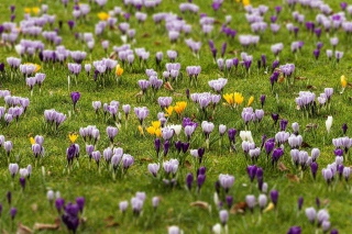 Crocus Meadow Background for Android, iPhone and iPad