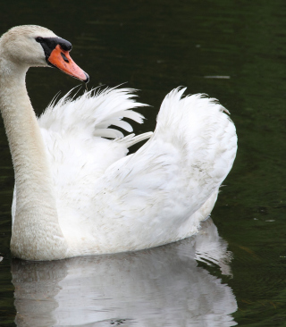 White Swan - Obrázkek zdarma pro Nokia Asha 503