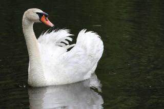 White Swan - Obrázkek zdarma pro Samsung Galaxy Nexus