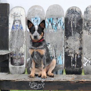 Australian Cattle Dog - Obrázkek zdarma pro 1024x1024