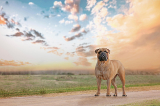 Free Bullmastiff Picture for Android, iPhone and iPad