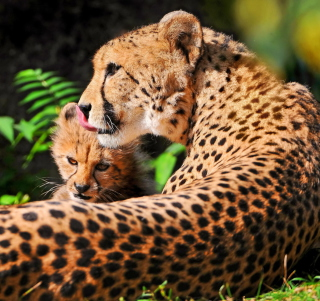 Cheetah - Obrázkek zdarma pro iPad